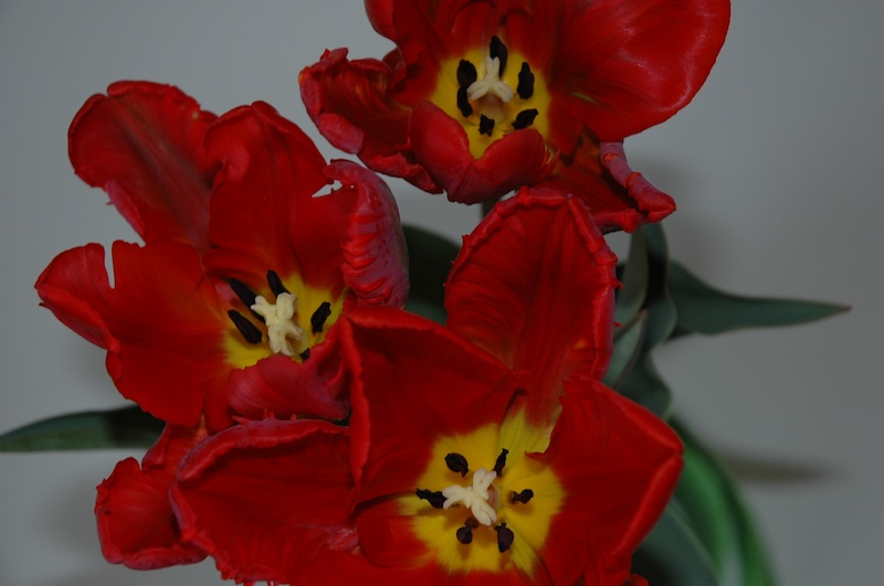 Tulip imenova Papagej